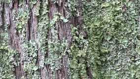Tree bark with lichen. This region of Australia, sustains an indigenous ecology named `dry rainforest`, that is World Heritage listed as the only example of a stock video