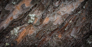 Tree bark with lichen texture Royalty Free Stock Photo