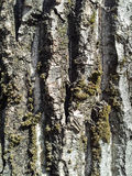 Tree bark with lichens macro detail Royalty Free Stock Image