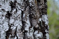 Tree bark with lichens Royalty Free Stock Photo