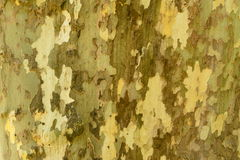 Tree bark. Maple tree throwing off his bark at the end of summer - lots of details, looks like camouflage Stock Image