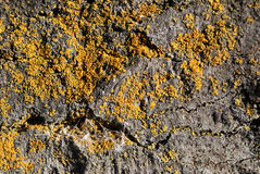 Tree Bark with Moss. Close up view of old tree bark and yellow moss, suitable for a background royalty free stock image
