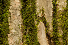 Tree Bark Moss Royalty Free Stock Photography