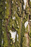 Tree bark with moss. Closeup of a part of tree bark with moss Royalty Free Stock Photo