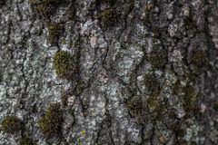 Tree bark in the moss close up. Background royalty free stock photo