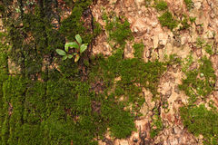 Tree bark with Moss and small leaves on it Stock Image
