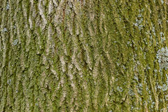 Tree bark with moss texture Royalty Free Stock Photos