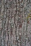 Tree bark of the old and big Oak tree texture or background. Royalty Free Stock Photo