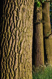 Tree bark pattern. Oak trees bark pattern in evening light, vertical Royalty Free Stock Photos