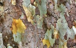Texture of platanus tree bark royalty free stock photography