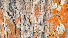 Tree bark with red lichen and algae. Texture. Brown tree barktexture and background. Macro view of dry Tree bark with red lichen and algae. Texture stock photos