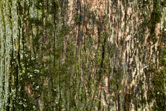 Tree bark. Rough tree bark horizontal format royalty free stock image