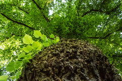 A tree bark shot from a low angle with the branches spread out on top Stock Images
