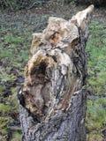 Rotting Tree Bark. Tree bark that is slowly rotting in woodland Stock Photos