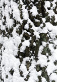 Tree bark in snow. Royalty Free Stock Photography
