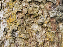 Tree bark texture. A close up of tree bark, for texture and background Royalty Free Stock Photo