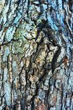 Tree Bark Texture. Extreme close-up of the grain bark of wild tree Royalty Free Stock Image