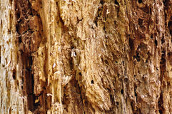 Tree bark texture. Close up detail of the inside of a tree Royalty Free Stock Photo