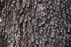 Tree Bark. Bark of tree , Texture of tree stock photo