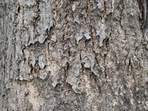 Tree Bark Texture of African Tulip Tree. The Tree Bark Texture of African Tulip Tree royalty free stock photo