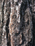 Tree bark texture background Royalty Free Stock Photo