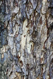 Tree bark texture, background Royalty Free Stock Image