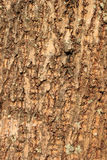 Tree bark texture. For background Royalty Free Stock Image