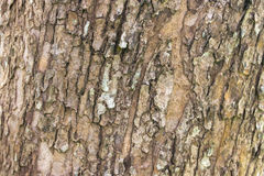 Tree bark texture background Royalty Free Stock Image