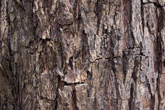 Tree bark texture background. Royalty Free Stock Image
