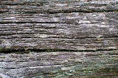 Excrescence on the tree trunk. Natural wood texture with a gray color royalty free stock images