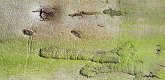 Tree bark texture background. Panoramic photo of the tree bark texture Royalty Free Stock Photography