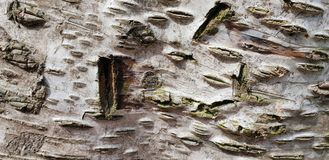 Tree bark texture background. Panoramic photo of the tree bark texture Royalty Free Stock Images