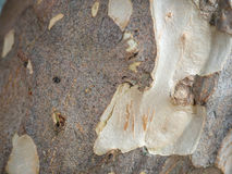 Tree bark texture. Close up royalty free stock image
