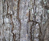 Tree bark texture close up photo. Brown and grey wood background. White old tree near the sea. Cracked peel of rustic tree. Rough timber texture. Old oak bark Stock Photo