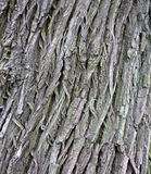 Tree bark texture closeup Royalty Free Stock Photo