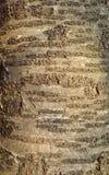 Tree bark texture Royalty Free Stock Photos
