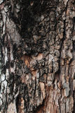 Tree bark texture. Detail of Tree bark texture Royalty Free Stock Images