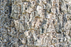 Tree bark texture of Indian cork tree Royalty Free Stock Photos