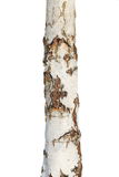 Tree bark texture isolated on white, birch wood Stock Image