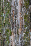 Tree bark texture with lichen Royalty Free Stock Photos