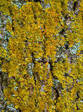 Tree bark texture with moss Royalty Free Stock Photo