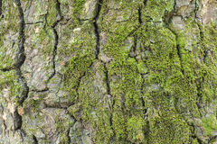 Tree bark texture with moss Royalty Free Stock Photography