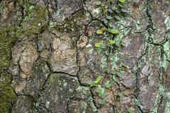 Tree bark texture with moss Royalty Free Stock Photos