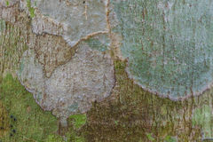 Tree bark texture with moss and  lichen Royalty Free Stock Photography