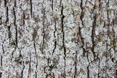 Tree bark texture Stock Photography