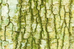 Tree bark texture for nature. Royalty Free Stock Photography