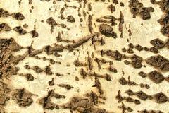 Tree bark texture. Old tree bark texture background Royalty Free Stock Image