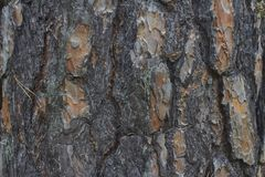 Tree bark texture. The bark of an old pine with textured embossed pattern royalty free stock image