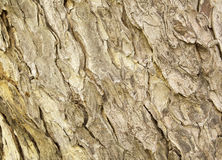 Tree bark texture pattern. wood rind. For background stock images