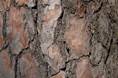Tree bark texture of Pinus silvestris or Scots pine with beautiful rough cracked pattern stock image